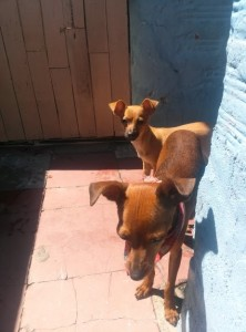 Perros de aramita
